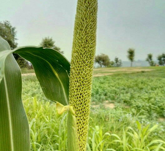 Nigerian pearl millet: 10 amazing health benefits and nutrition