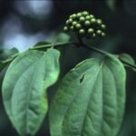 Piper guineense (Uziza): Nutrition, health benefits, and uses