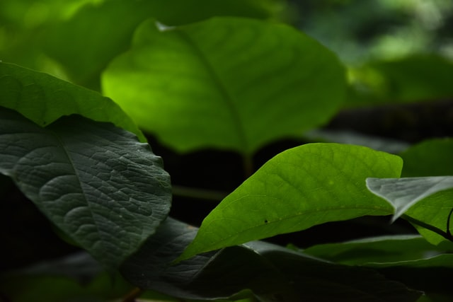 Bitter leaf (Vernonia amygdalina): Benefits, Uses, and Side effects