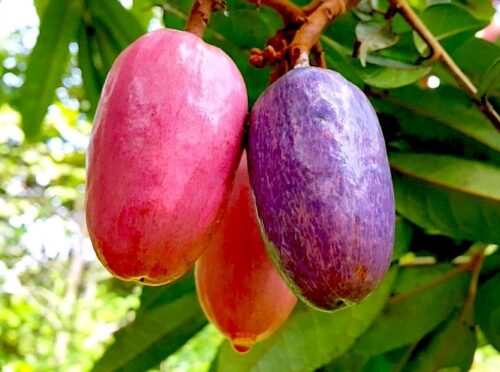 10 Reasons why African Pear (ube) is good for you